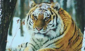День Амурского тигра на Дальнем востоке-миниатюта