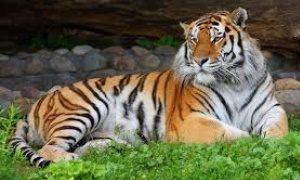 Выставка Амурский тигр на Дальнем Востоке-миниатюра
